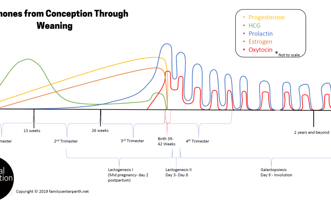 Hormones from Conception Through Weaning